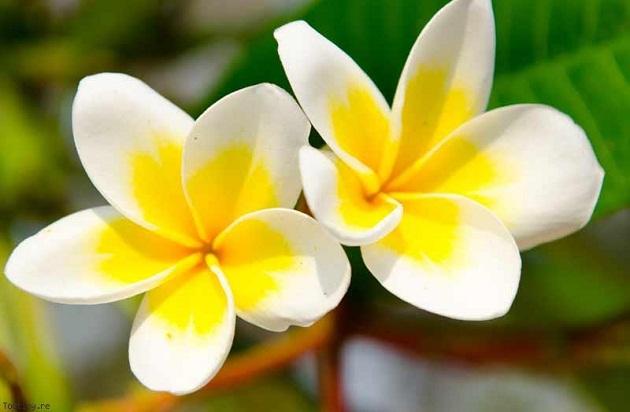 fleur-de-monoi